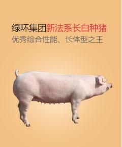绿环集团新法系长白种猪,优秀综合性能、长体型之王