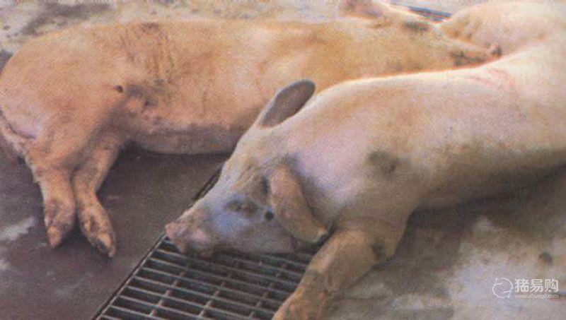 猪接触传染性胸膜肺炎的症状及防治措施
