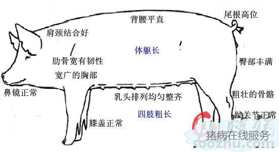 【技术资讯】后备母猪的饲养管理(一)