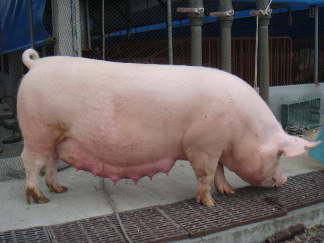 【技术资讯】妊娠母猪的饲养管理