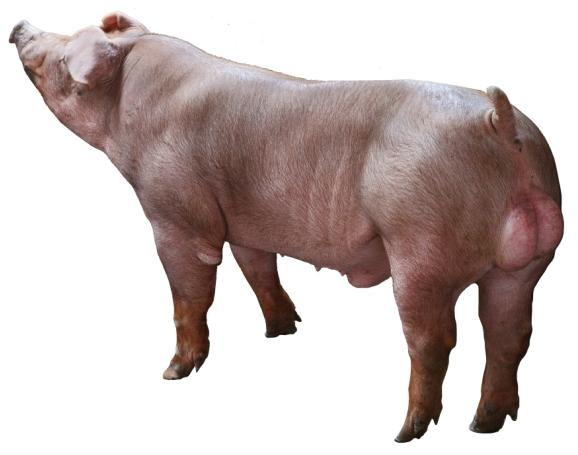 天心新美系杜洛克公猪