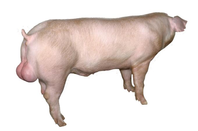 天心新美系长白公猪