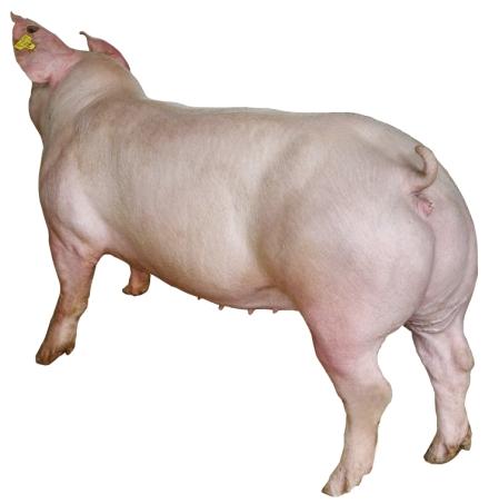 天心新美系长白母猪