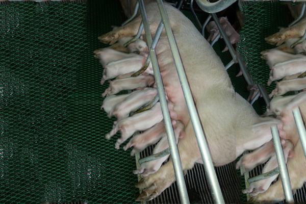 增鑫牧业 板材系列猪场塑包钢漏缝板三角钢漏缝板母猪铸铁地板
