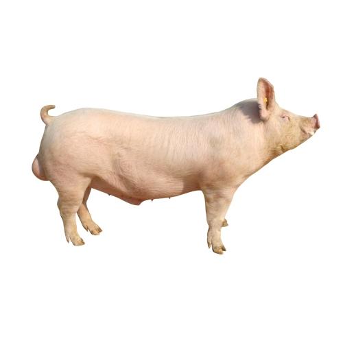 绿环大白种公猪