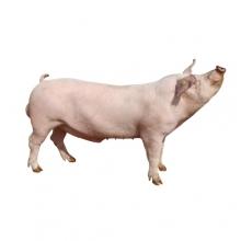 绿环长白公猪