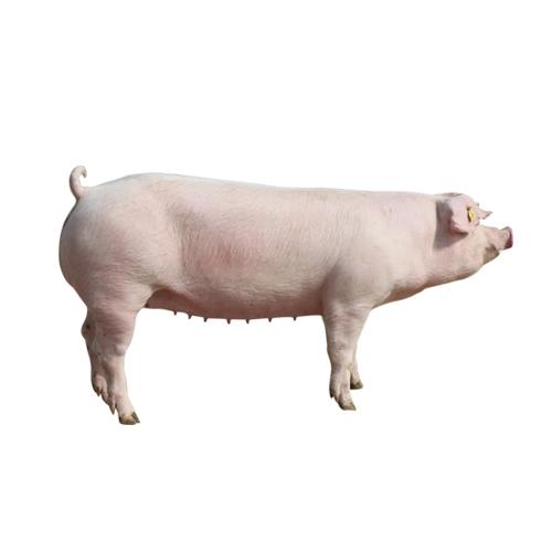 绿环长白种母猪