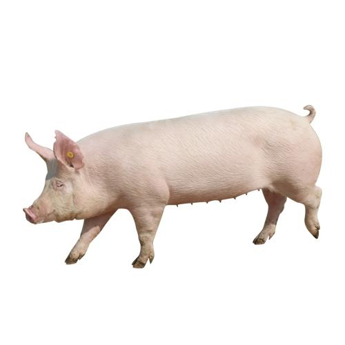 绿环大白种母猪
