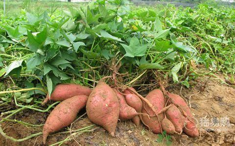 红薯喂猪真的可以催肥吗?