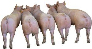 新美系大约克母猪